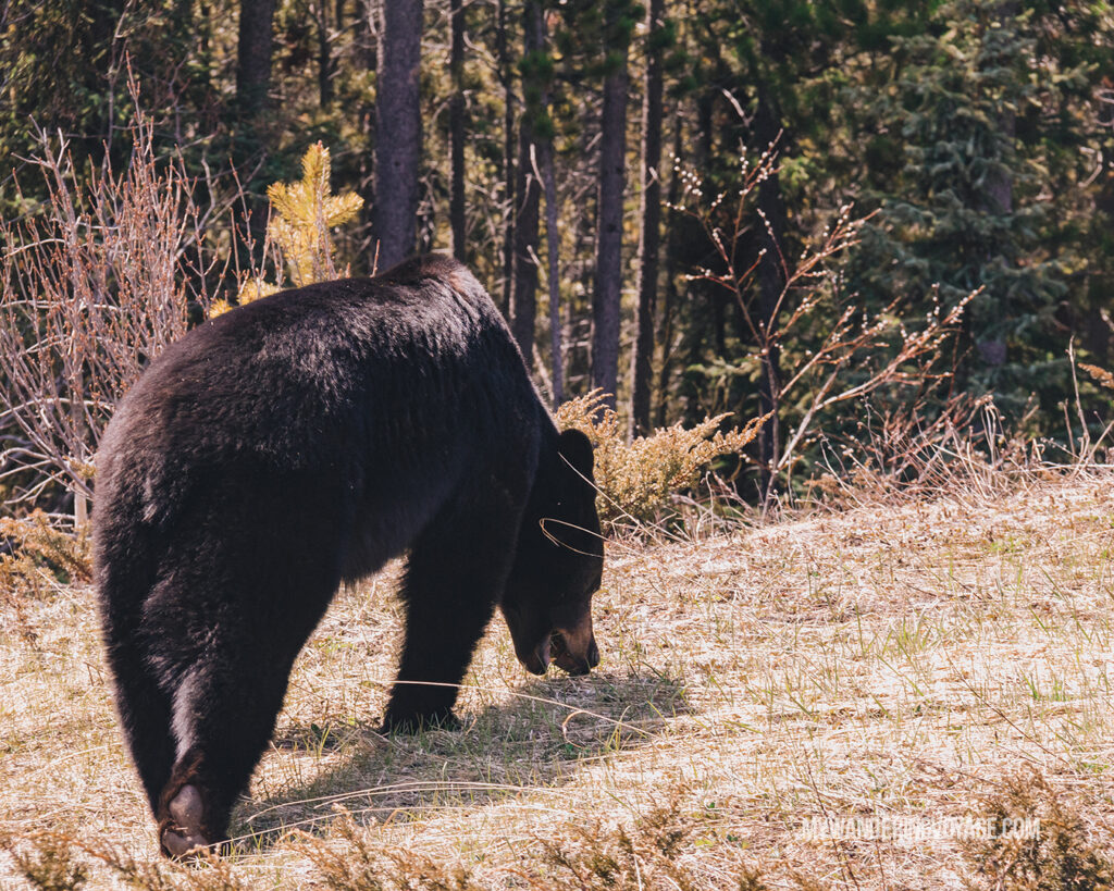 Black bear | Top things to see in Jasper and Banff | My Wandering Voyage