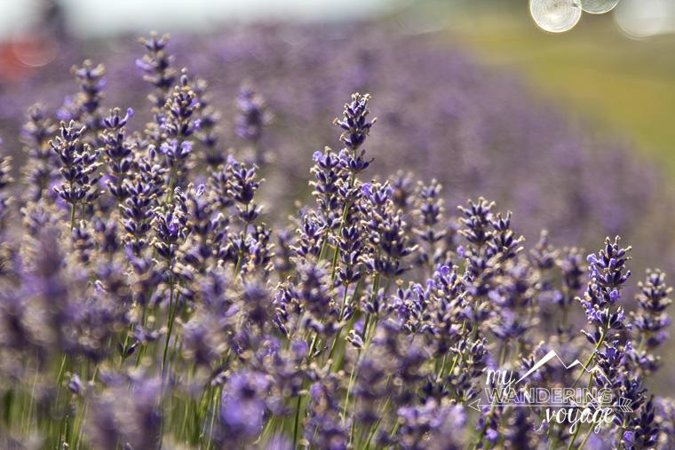 lavender fields festival