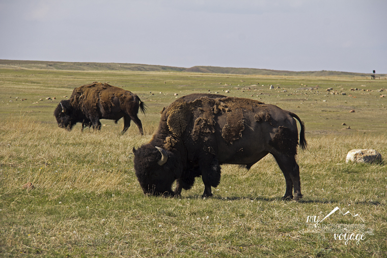 Bison Grasslands National Park Saskatchewan