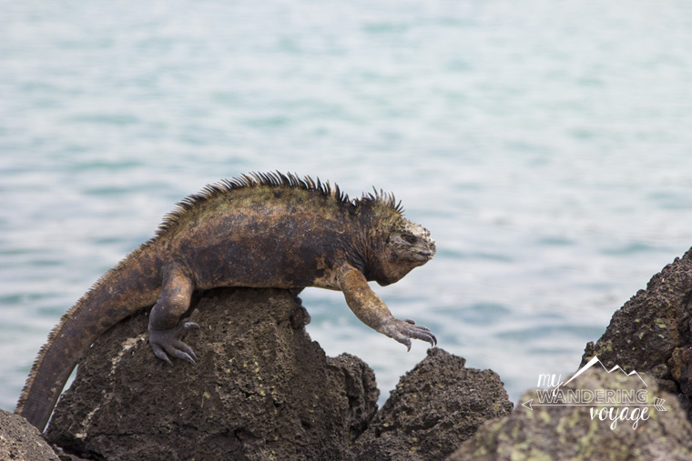 Marine Iguana of Galapagos | My Wandering Voyage Travel Blog