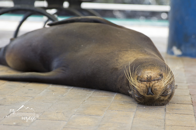 Sea Lion basking in the sun on Santa Cruz, Galapagos | My Wandering Voyage travel blog