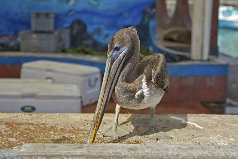 Pelican at the fish market - Galapagos Islands | My Wandering Voyage travel blog
