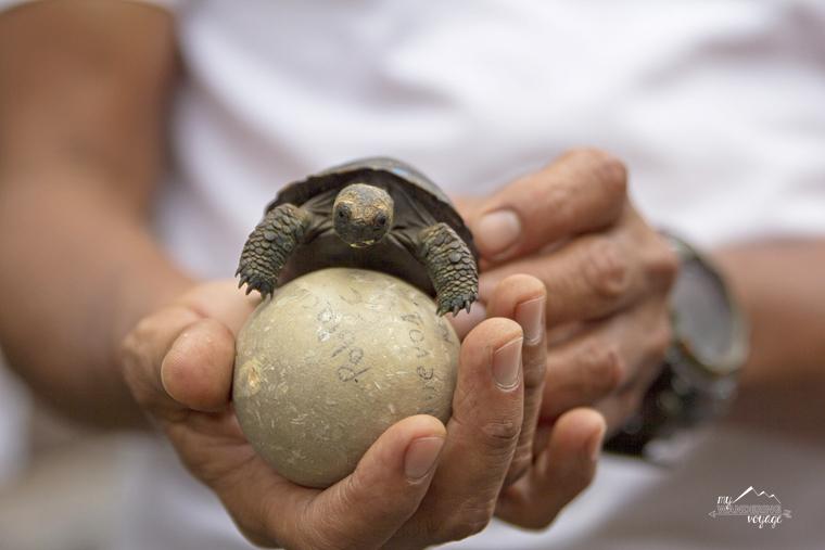 baby giant tortoise Galapagos Island | My Wandering Voyage travel blog