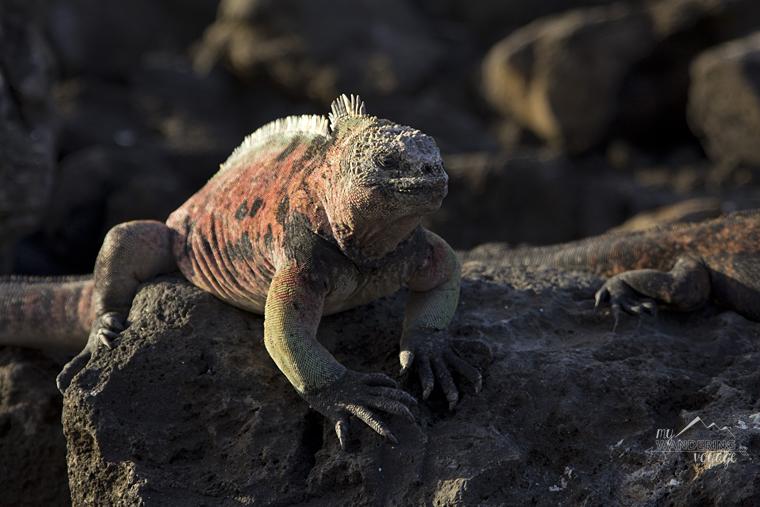 Marine Iguana, Floreana Island Galapagos | My Wandering Voyage travel blog