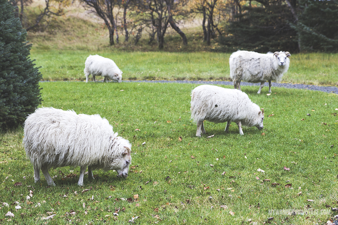 Icelandic sheep - The Golden Circle is a well-known destination in Iceland, and it's easy to see why. The Golden Circle is part of a road loop that can be seen in a day from Reykjavik and hits some of Iceland's most famous landmarks | My Wandering Voyage travel blog