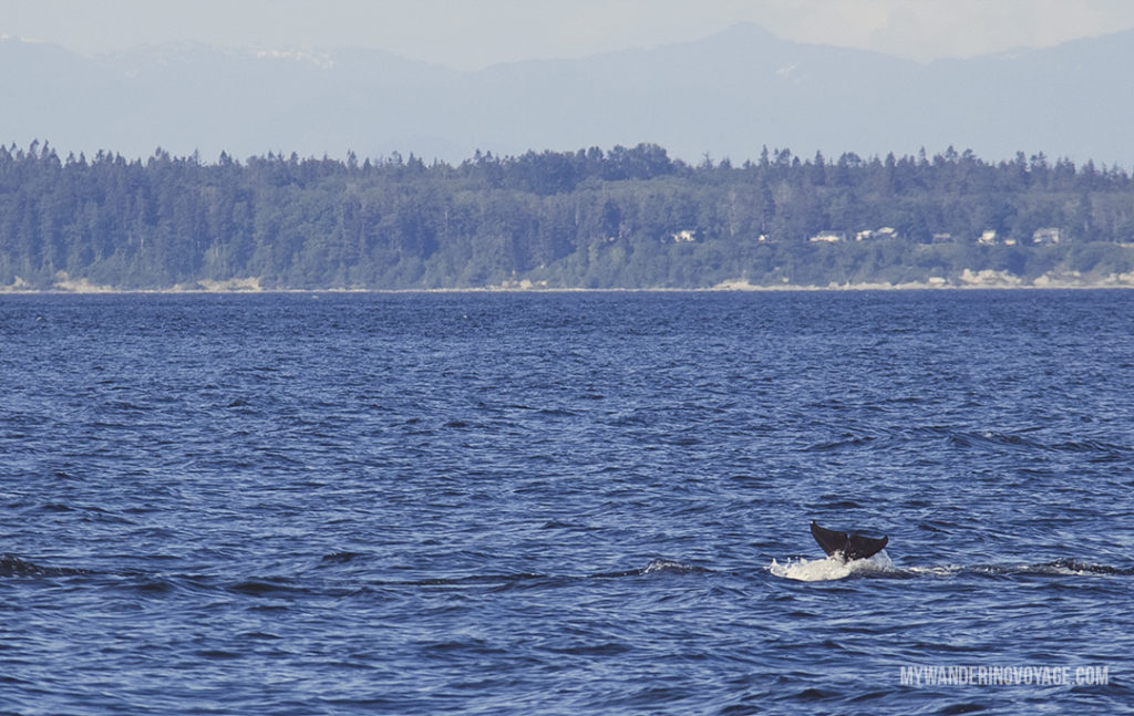 Orca Tail Flip | Whale watching is one of the best experiences to have in British Columbia. With so many whales calling the Salish Sea home, it's the best place to view Orcas in their natural habitat. Take a whale watching tour with Eagle Wing Whale and Wildlife Watching Tours. | My Wandering Voyage travel blog