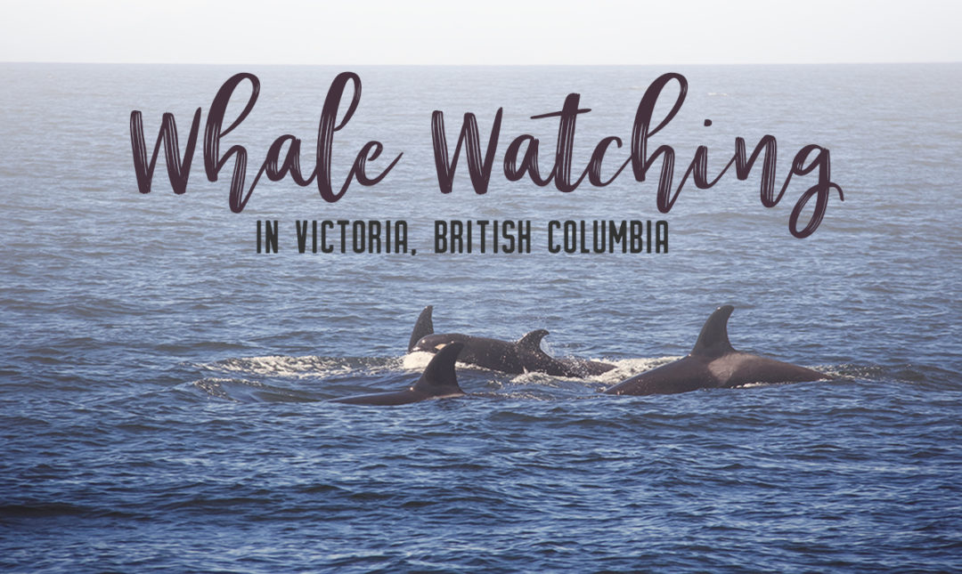 Whale watching is one of the best experiences to have in British Columbia. With so many whales calling the Salish Sea home, it's the best place to view Orcas in their natural habitat. Take a whale watching tour with Eagle Wing Whale and Wildlife Watching Tours. | My Wandering Voyage travel blog