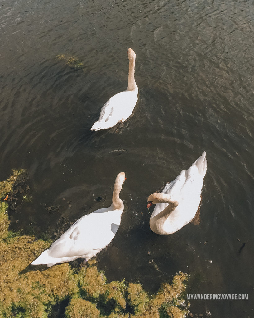 Swans in Elora | The ultimate list of things to do in Elora, Ontario. Visit Elora for its small town charm, natural beauty and one-of-a-kind shops and restaurants | My Wandering Voyage travel blog