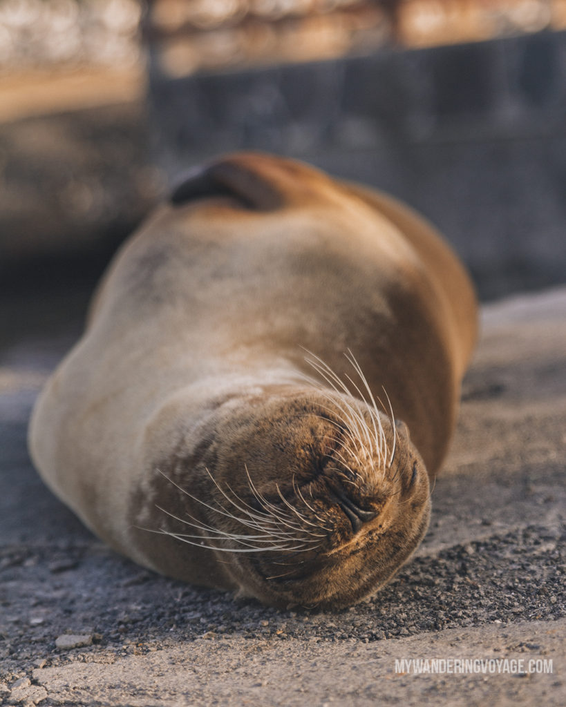 Sea Lion up close | A trip to the Galapagos Islands will be unforgettable, and with these Galapagos Islands travel tips, you'll be sure to have a worry-free trip from start to finish. | My Wandering Voyage travel blog #galapagos #galapagosislands #travel #traveltips #Ecuador #southamerica