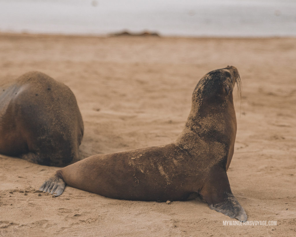 Galapagos Sea Lion | A trip to the Galapagos Islands will be unforgettable, and with these Galapagos Islands travel tips, you'll be sure to have a worry-free trip from start to finish. | My Wandering Voyage travel blog #galapagos #galapagosislands #travel #traveltips #Ecuador #southamerica