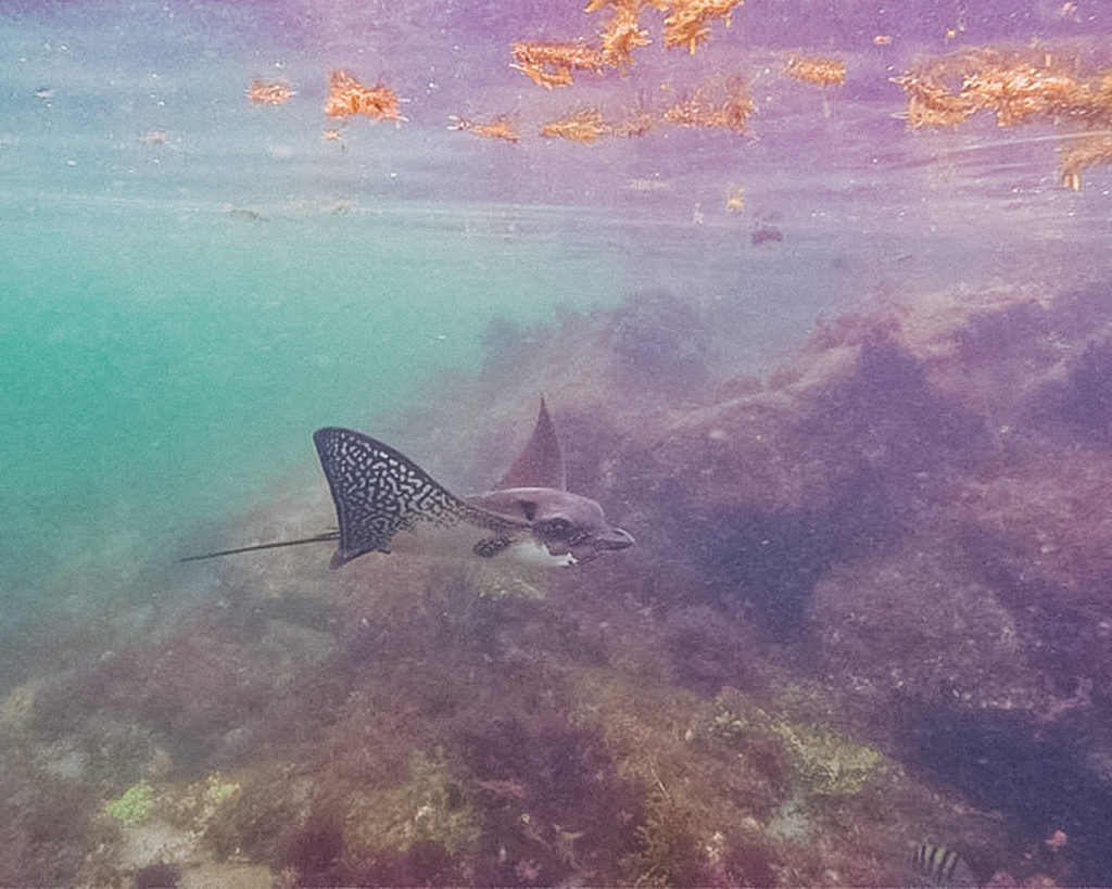 Eagle Ray, snorkelling at Isabela Island | What to pack for the Galapagos Islands. Find out what to bring, what to leave at home, when the best time to visit the Galapagos Islands is, and other tips in this Galapagos packing list. | My Wandering Voyage travel blog #travel #galapagos #galapagosislands #packing list