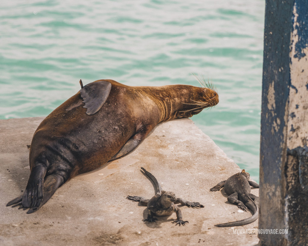 sea lion and marine iguanas in the sun | What to pack for the Galapagos Islands. Find out what to bring, what to leave at home, when the best time to visit the Galapagos Islands is, and other tips in this Galapagos packing list. | My Wandering Voyage travel blog #travel #galapagos #galapagosislands #packing list
