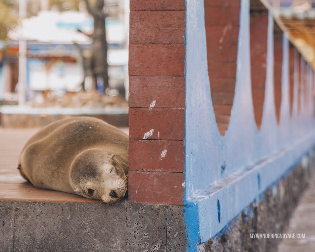 Sea Lion resting | A trip to the Galapagos Islands will be unforgettable, and with these Galapagos Islands travel tips, you'll be sure to have a worry-free trip from start to finish. | My Wandering Voyage travel blog #galapagos #galapagosislands #travel #traveltips #Ecuador #southamerica