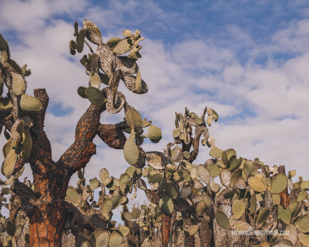 Cactus | A trip to the Galapagos Islands will be unforgettable, and with these Galapagos Islands travel tips, you'll be sure to have a worry-free trip from start to finish. | My Wandering Voyage travel blog #galapagos #galapagosislands #travel #traveltips #Ecuador #southamerica