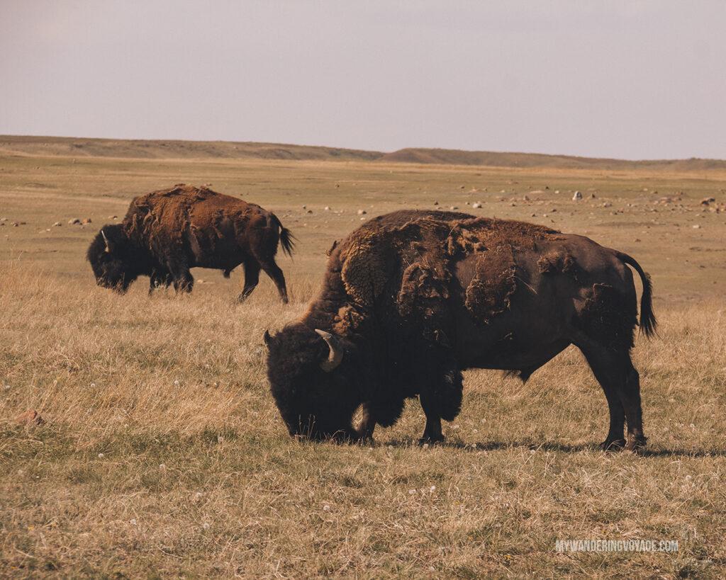 Bison at Grasslands National Park | Canada Travel Guide | My Wandering Voyage travel blog