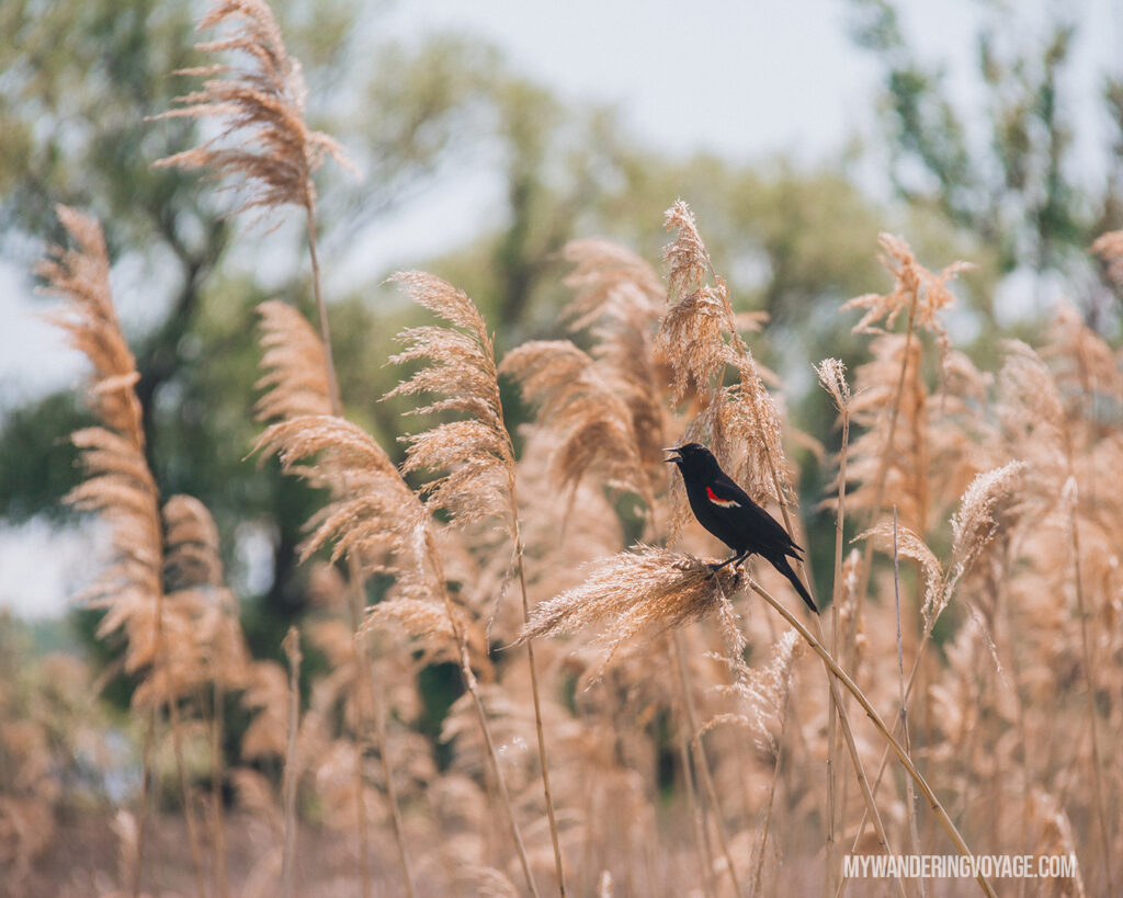 Bird watching in Long Point Provincial Park | Discover Ontario's Garden: Relaxing things to do in Norfolk County | My Wandering Voyage travel blog