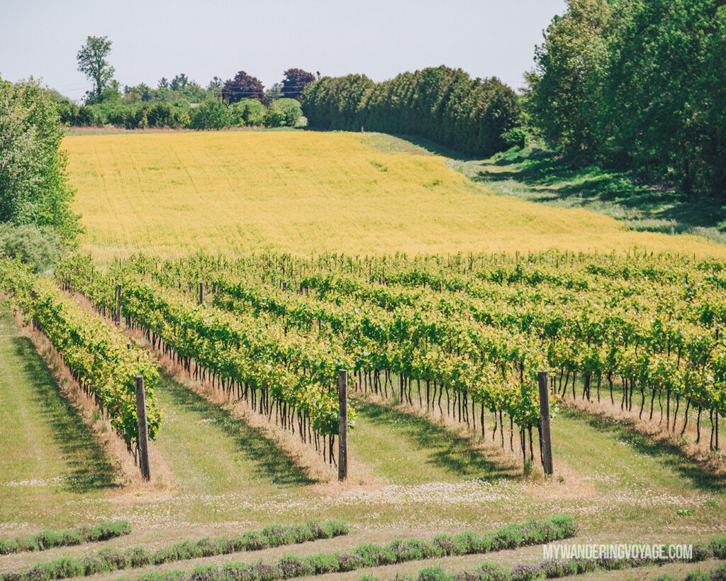 Vineyard in Norfolk County | Discover Ontario's Garden: Relaxing things to do in Norfolk County | My Wandering Voyage travel blog