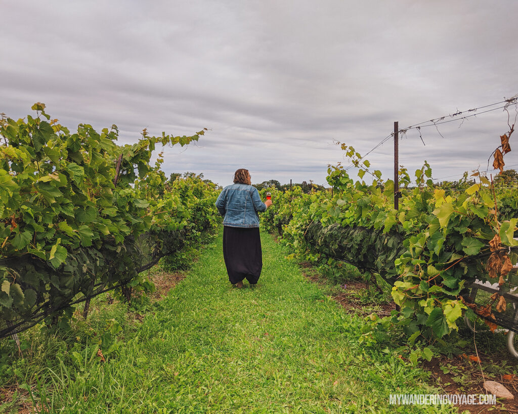 Walking through the vineyard at Coffin Ridge | Ontario Cider: Take a self-guided Georgian Bay cider tour | My Wandering Voyage travel blog #Ontario #Cider #GeorgianBay #daytrip